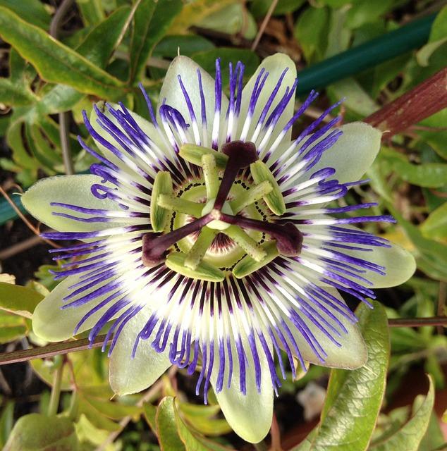 passiflora gotas efectos secundarios